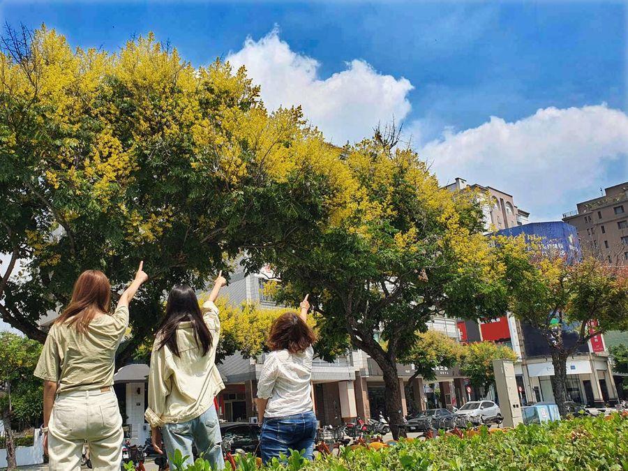 台灣欒樹金黃花朵綻放 台中街道灑下一片黃金雨