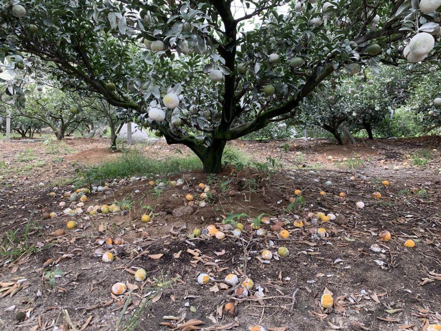 台中茂谷與后里的帝王柑受旱害 每公頃可獲7 5,000元現金救助