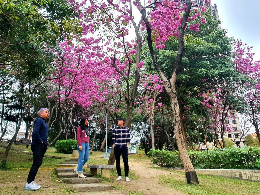 洋紅風鈴木提早盛開 多處公園吸引民眾賞花