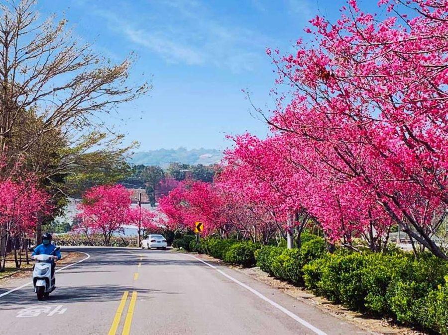 新社櫻花繽紛綻放 春節好去處