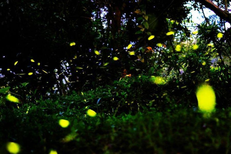大坑蝶螢嘉年華登場 觀旅局邀您賞螢觀蝶